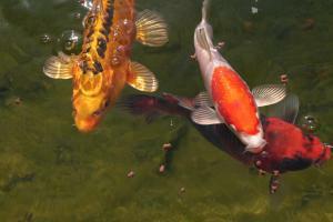 Teichbauanleitung f r einen gartenteich mit fischen for Gartenteich mit fischen